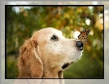 Golden retriever, Pies, Motyl